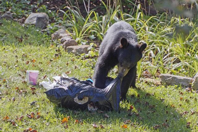 Black bear garbage